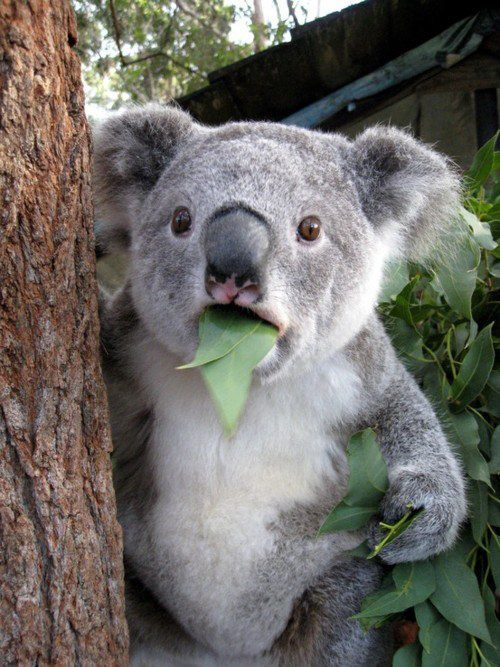 d-a-i-s-y-k-a-i:  aloe-kids:  i love my baby koala :)  what do you mean its not halal?!