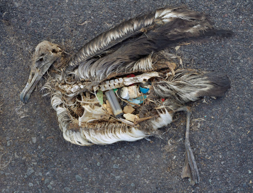 scab:  Plastic ingested by an albatross on Midway Island. by Chris Jordan