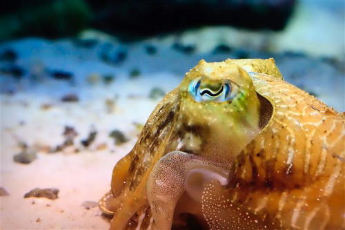 devotingfulltimetofloating:  Cuttlefish by LeftyRodriguez on Flickr.