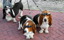 bunnyfood:  Deal with it   Basset Hound Love