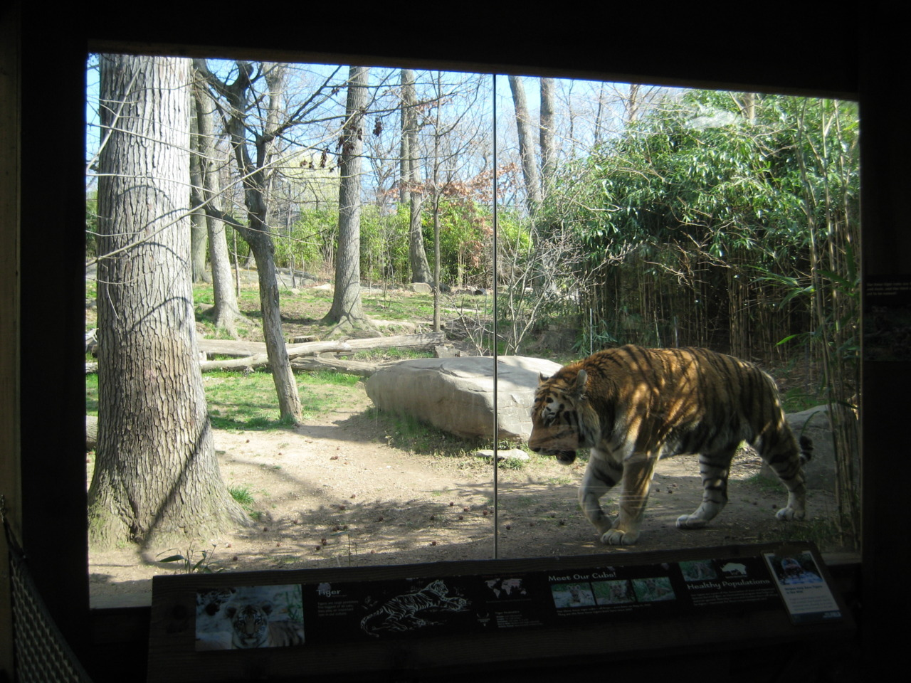 Tiger at Bronx Zoo.