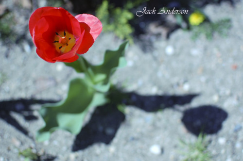 Beautiful vantage point of a red tulip