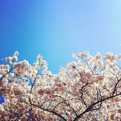#cherryblossoms #sakura #sky #spring #bloom (Taken with instagram)