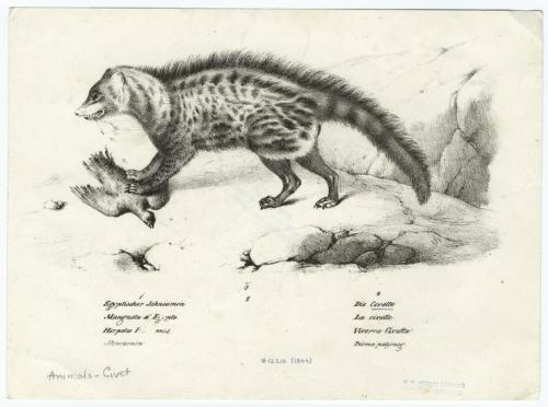 compendium-of-beasts:  [Civet with prey.] via NYPL