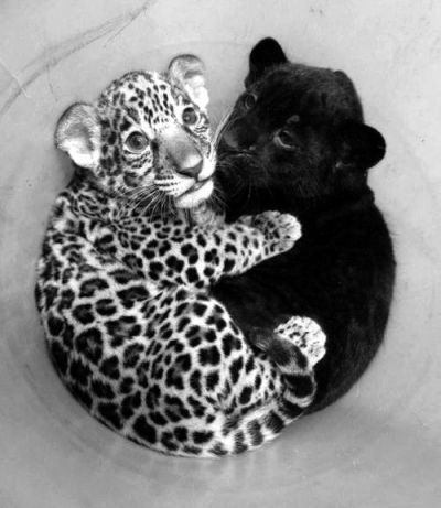 llbwwb:  Cub cuddles via:cutestuff via:cutestuff