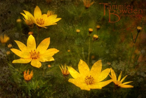 (via Yellow Coreopsis Original Photograph 8x10 by TammieBowdenPhoto)