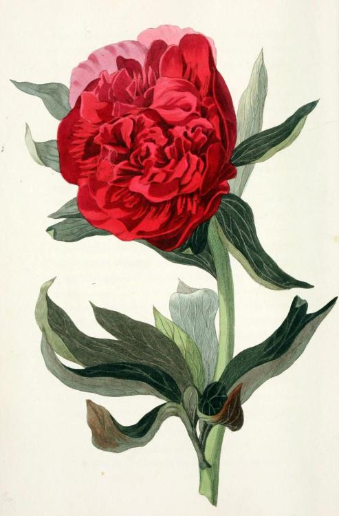 biomedicalephemera:  Paeonia officinalis - European Peony The European peony is one of the oldest cultivated species of peony, and also one of the most uncommon to be found in gardens these days. They can still be found wild throughout Europe, however. Flora Conspicua. Richard Morris, 1826.