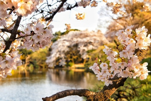 Cherry Blossoms in Shinjukugyoen