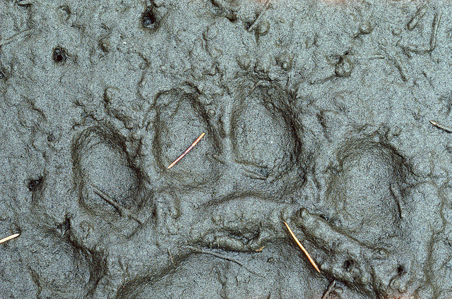 50374 Bear track by wild prairie man on Flickr.A través de Flickr: Black Bears usually do not leave claw prints, but this was very soft mud on a riverbank, so I suspect black, not grizzly. Other factors include size of track and location - down low in a heavily forested river valley. Grizzlies would be higher up the mountains in September. Stein Valley, British Columbia. Scanned from the original Kodachrome 64 slide, September 1990. Don't use this image on websites, blogs or other media without explicit permission.  © James R. Page - all rights reserved.