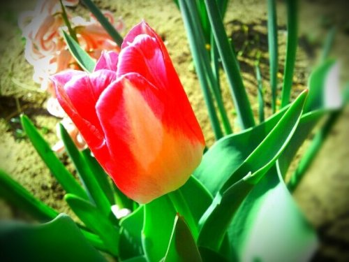 Happy Easter streamzooids! :)#andrography #android #Easter #flower #nature #spring #CapturedMoment #streamzoo #garden(from @argyre on Streamzoo)