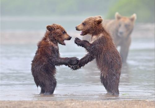 Brown Bear Cubs Playing, Kurile Lake, Kamchatka, Russia.