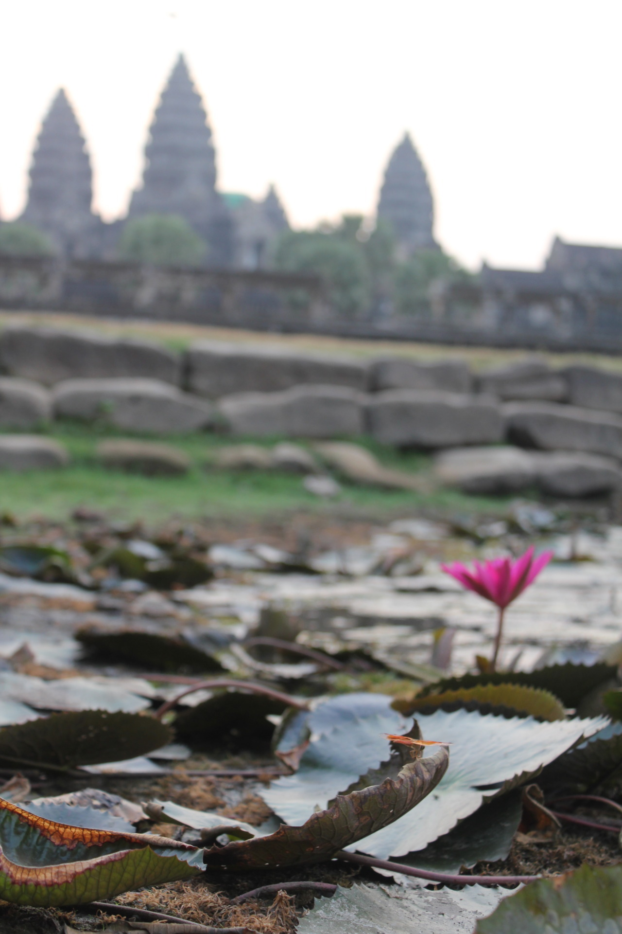 Lily and dragonfly in the lily pond in front of Angkor Wat.