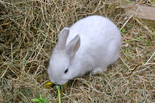 Dandelion for breakfast: real Easter bunnies don't eat chocolate!