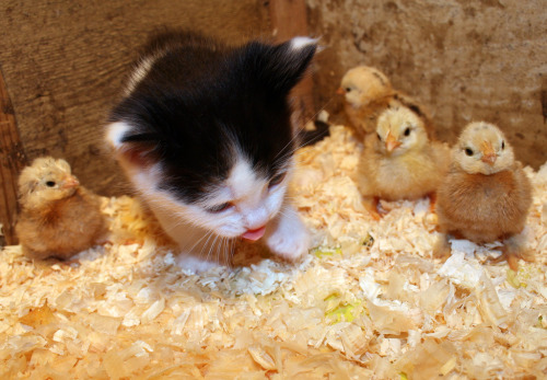 "thefluffingtonpost:  Legendary Kitten, Chicks to Form Folk Rock Supergroup Mufasa the Kitten and the Chicklet Sisters — legendary musicians in their own right — have teamed up to form ScissorKick, a new folk rock quintet that's poised to take the world by storm. Blending vibes from the '60s with modern electronica, the band's first recorded single, ""Snuggle Hut,"" is already a top seller on iTunes. Via Jack Hynes."
