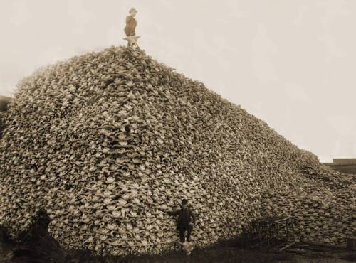 bartleby-company:  The near extinction of the American Bison in the 1800's