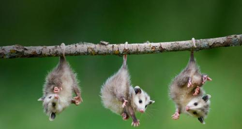 magicalnaturetour:  Possums by *Farug Bastadar* :)