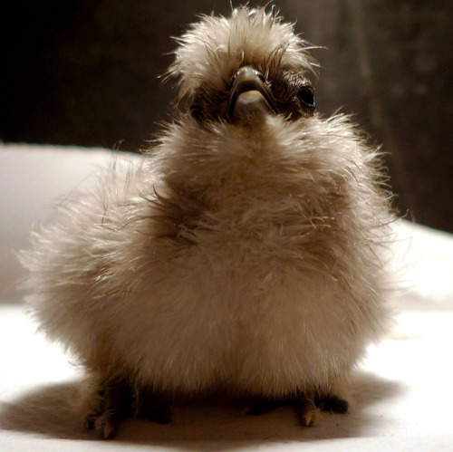 silkie chick by Elizabeth Moriarty on Flickr. he looks like a llama. he's a llama chicken. a silkie llama chicken.