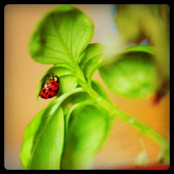 Ladybird on basil.