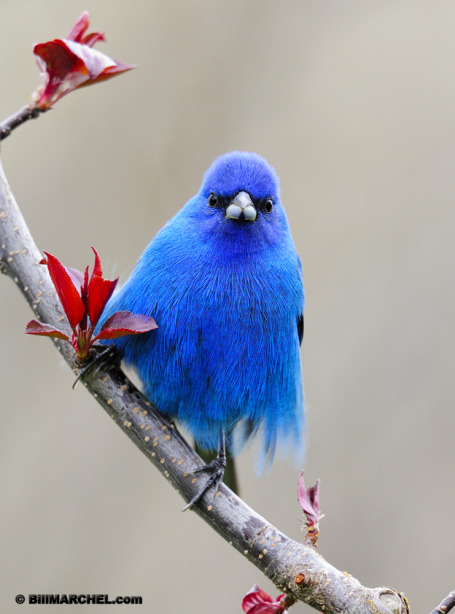 fairy-wren:  indigo bunting (photo by bill marchell)