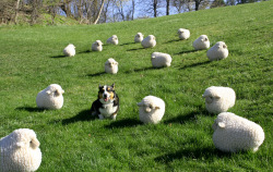 thefrogman:  Wellington the Corgi and his flock.