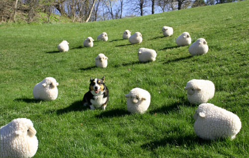 corgiaddict:  Wellington and his flock celebrate spring. submitted by Wellington's parents What is this? Corgi sized sheep!?