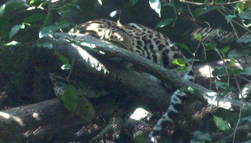 I LOVE OCELOTS