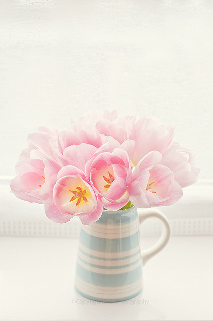 coloredmondays:  pink tulips
