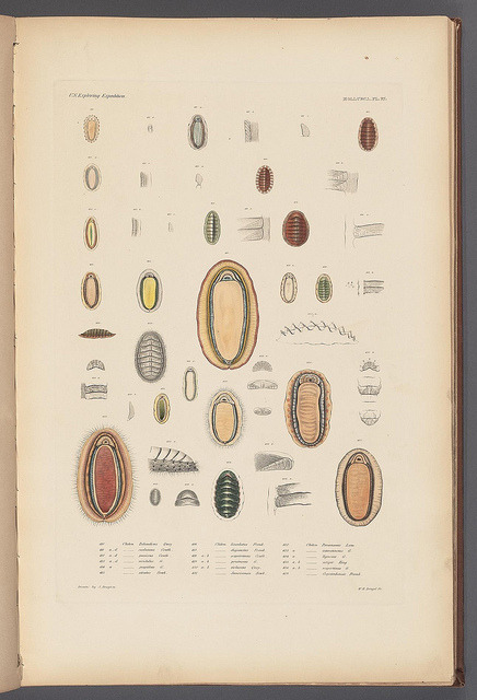 n43_w1150 by BioDivLibrary on Flickr. Mollusca & shells..Boston,Gould & Lincoln,1852..biodiversitylibrary.org/page/32033225