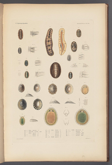 n44_w1150 by BioDivLibrary on Flickr. Mollusca & shells..Boston,Gould & Lincoln,1852..biodiversitylibrary.org/page/32033226
