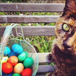 neko's eggs! #cat #tortie #catsofinstagram #eastereggs #igers #igmasters  (Taken with instagram)