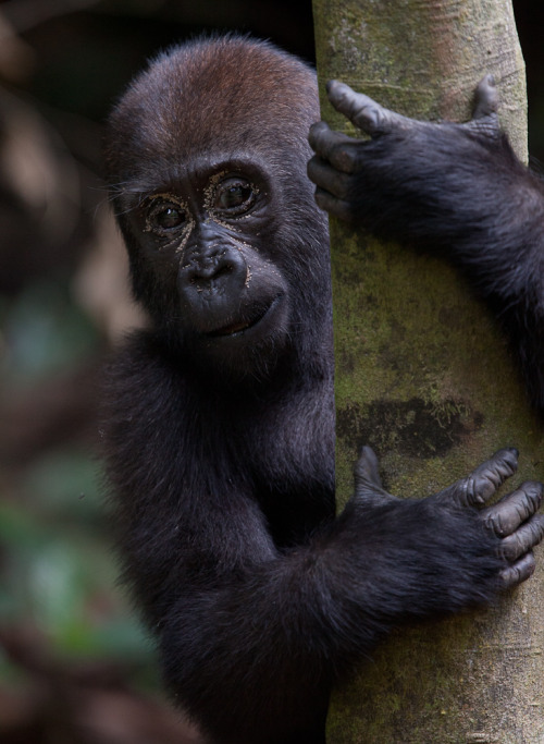 Western lowland gorillas live in dense forest and are tough to photograph. Two years ago I photographed the group at Mondika in the Congo and faced similar challenges: very low light and thick foliage. You can be five metres from a large gorilla and yet have no shot because the undergrowth is so dense. Most of these photos are shot at 3200 ISO, 1/80th shooting handheld with a 400mm lens (at f4) - made possible by Image Stabilisation and the 5D MkII's low-light performance.
