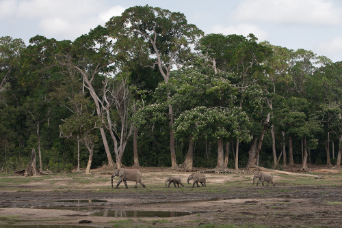 Dzanga Bai is a huge clearing in the middle of the jungle in the Central African Republic, where herds of up to 200 forest elephants congregate to suck up mineral deposits. This pocket of protected forest is part of the Dzanga Sangha reserve in the remote south-western tip of the country. This large (but shrinking) tract of virgin rainforest houses an extraordinary array of indigenous wildlife, including elephants and western lowland gorillas.