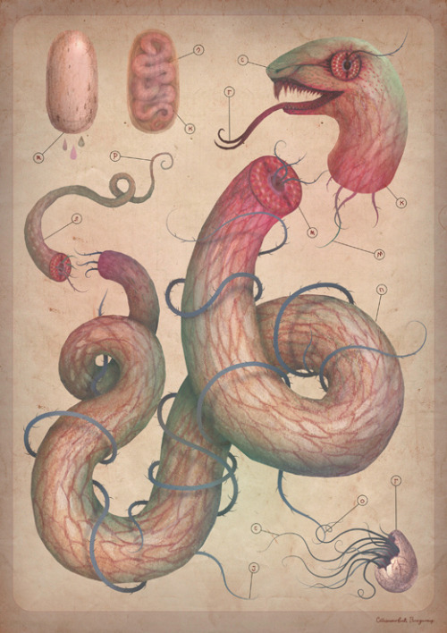 "fairytalesandvampires:  Serpent analysis ""scientific"" illustration study watercolors, colored pencils, ink + PS, AI check out all the BIOPHILIA illustrations here www.behance.net/gallery/B-I-O-P-H-I-L-I-A/1717125thanks!"