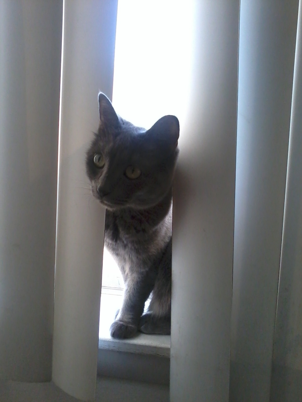 The photo of the day is Smokey.  She is looking through the blinds into the apartment.