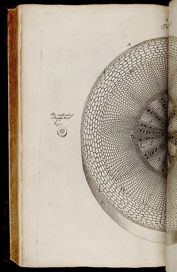 "yama-bato:  From: The anatomy of plants Author/Creator:  Grew, Nehemiah, 1641-1712.    [London] : Printed by W. Rawlins, for the author, 1682..biodiversitylibrary.org/page/268116    Nehemiah Grew (26 September 1641 – 25 March 1712) was an English plant anatomist and physiologist, very famously known as the ""Father of Plant Physiology"""