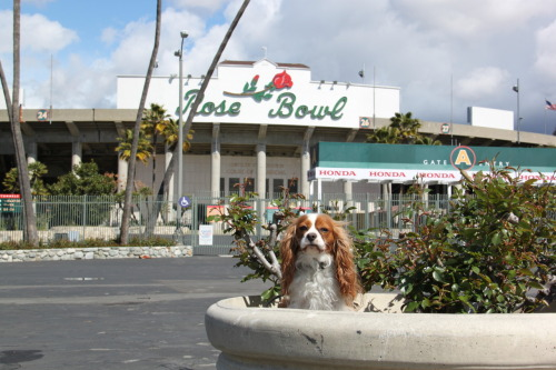 Charlie, the #cavalierkingcharles, posing at the #rosebowl!