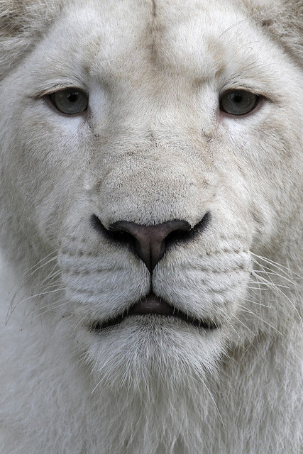 animalgazing:  The white lion. by dirkjankraan.com on Flickr. The white lion is not a distinct subspecies, but a special morph with a genetic condition, leucism, that causes paler colouration akin to that of the white tiger; the condition is similar to melanism, which causes black panthers. They are not albinos, having normal pigmentation in the eyes and skin.