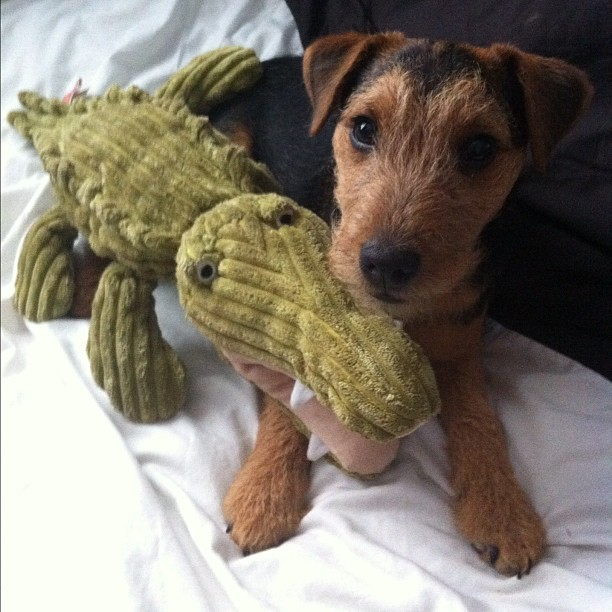 My #puppy Barney & his #teddy #crocodile. He #love s it! #terrier. #bestoftheday #photooftheday #instagram #iphoneography #iphonesia #iphone #popular #ig #iphoneonly #iphone4 #instagood #webstagram #instagramhub #jj #igers #instamood #instagrammers #ignation #instago #igdaily (Taken with instagram)