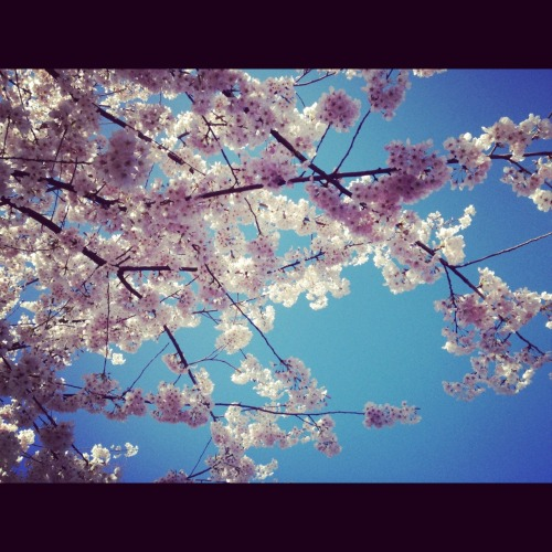 I love cherry blossoms..  - Green Lake, Seattle