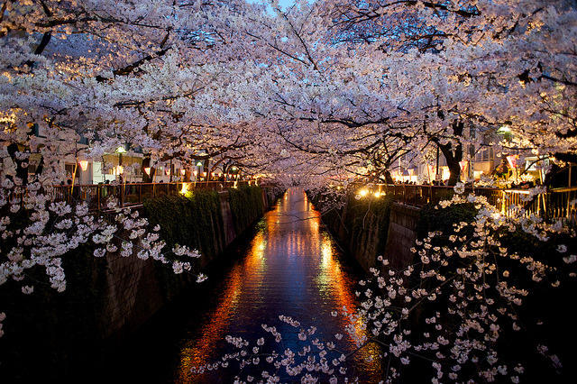 ileftmyheartintokyo:  Cherry Blossom 2012. by toshyie on Flickr.
