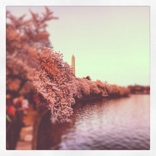 An incredible Instagram photo of the 2012 DC Cherry Blossom Festival.