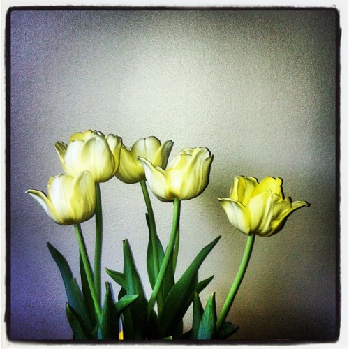 Tulips (Taken with instagram)