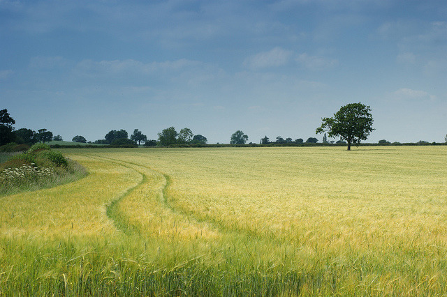 Wheat Fields by Rovers number 9 on Flickr.