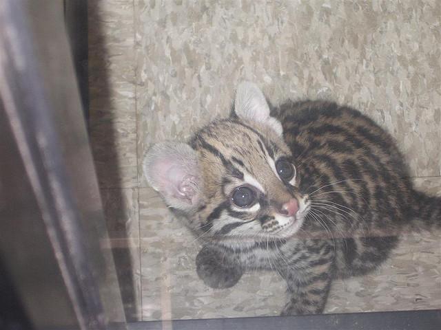 Baby Ocelot