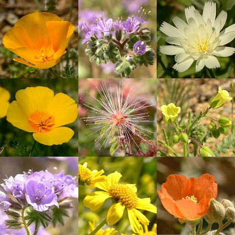 arizonanature:Arizona wildflowers (by newlight2)
