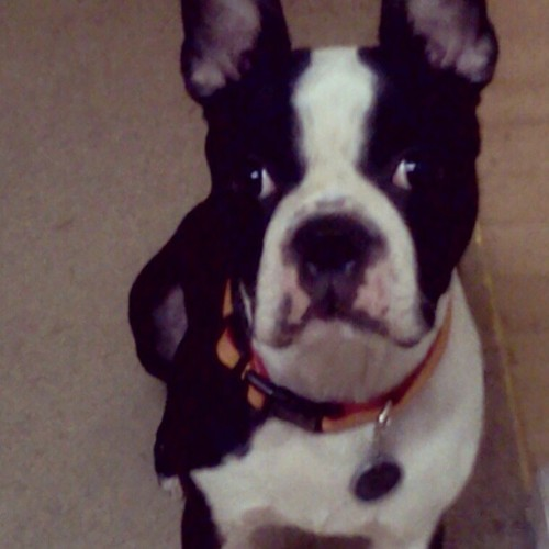 Say hello Kenobi! #bostonterrier #pet #dog #instagram #starwars #lovemypet #kenobi (Taken with instagram)