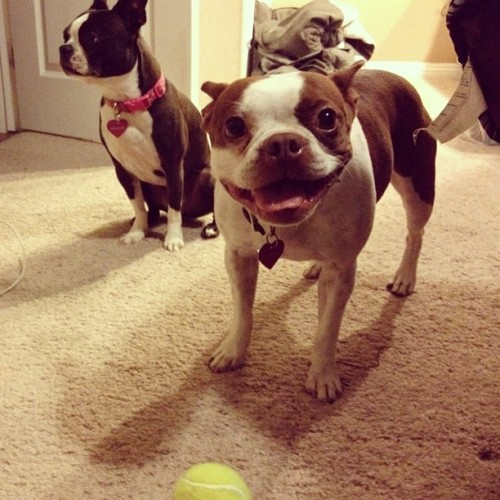 Maple: please stop cleaning and play Lola: no fucks given #bostonterrier #maple #lola #dogsofinstagram #petstagram  (Taken with instagram)