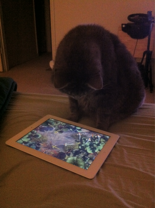 My kitty Orion (aka Olay) playing with the Koi Pond iPad app.