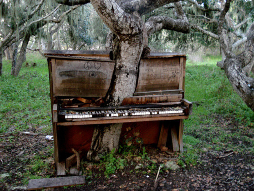 bluepueblo:   Piano Tree, Monterey, California photo by glowininja