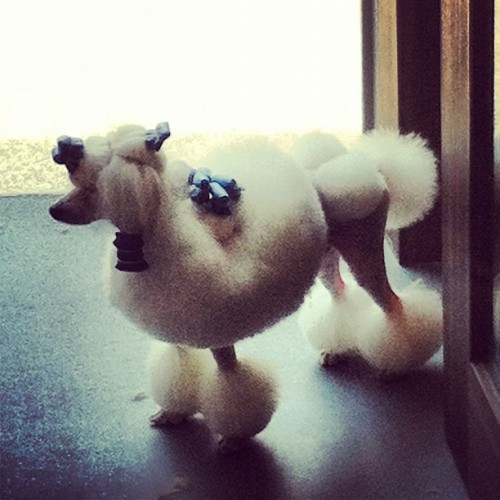 Poodle at Pet Safari! 😁 (Taken with instagram)